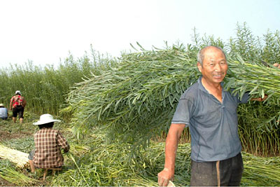 willow-grow-and-harvest2